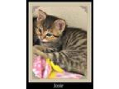 Adopt Josie a Domestic Short Hair