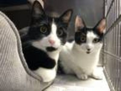 Adopt Pita & Panini a Domestic Short Hair