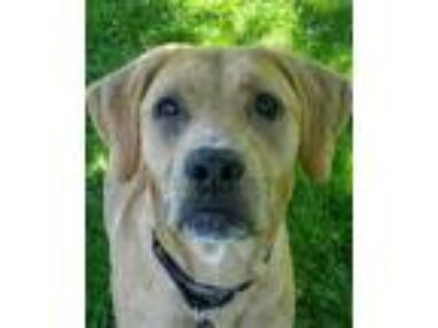 Adopt Newton a Brown/Chocolate Mixed Breed (Large) / Mixed dog in Blackwood