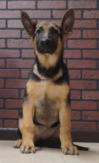 German Shepherd Dog PUPPY FOR SALE ADN-96358 - Amazing AKC German  Shepherd Puppies