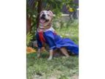 Adopt Pennylane a Brown/Chocolate American Pit Bull Terrier / Mixed dog in