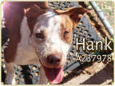 Adopt NARUTO* a White - with Brown or Chocolate American Pit Bull Terrier /