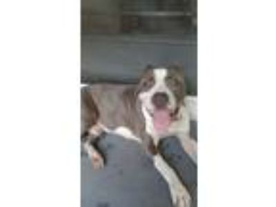 Adopt Brutus a Pit Bull Terrier