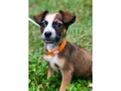 Adopt ELSIE a Brown/Chocolate - with White Rat Terrier / Terrier (Unknown Type