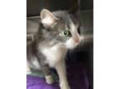 Adopt Fritzi a Manx, Domestic Medium Hair