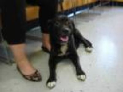 Adopt Stray- Red Wood - avail 7-26 a Black Retriever (Unknown Type) / Mixed dog