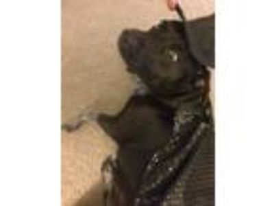 Adopt Cleopatra a Black - with White Australian Shepherd / Labrador Retriever /