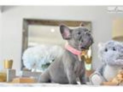 Poetic French Bulldogs Blue Female Missy NO AKC