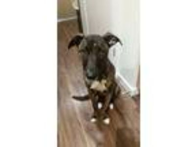 Adopt Rocky a Brindle Hound (Unknown Type) / Labrador Retriever / Mixed dog in