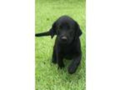 AKC Labrador Retriever Pups Field Champion Bloodlines / Lab Puppy