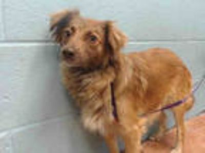 Adopt MARIGOLD a Brown/Chocolate Terrier (Unknown Type, Medium) / Mixed dog in