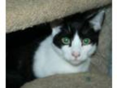 Adopt Vincent a Domestic Short Hair