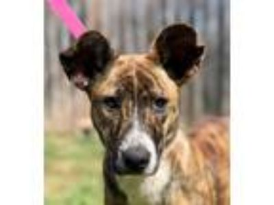 Adopt YODA a Brindle - with White Shepherd (Unknown Type) / Dutch Shepherd /
