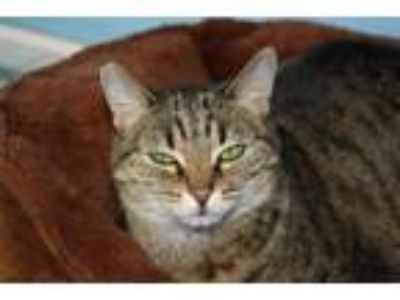 Adopt Amber 3 a Domestic Short Hair