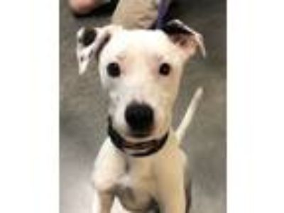 Adopt Chipotle a White Fox Terrier (Wirehaired) / Mixed dog in DeKalb
