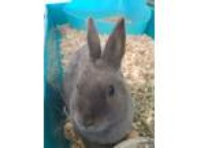 Adopt LOLA a Grey/Silver American / American / Mixed rabbit in Mesquite