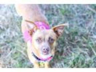 Adopt Nanette a Tan/Yellow/Fawn Miniature Pinscher / Mixed dog in Santa Cruz