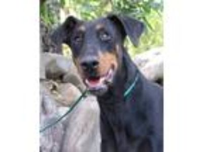 Adopt Leo a Black - with Tan, Yellow or Fawn Doberman Pinscher / Mixed dog in