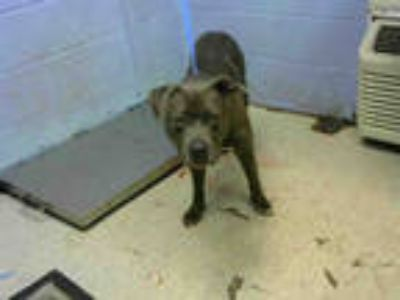 Adopt BOBO a Gray/Silver/Salt & Pepper - with White American Pit Bull Terrier /