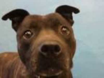 Adopt Brutus a Pit Bull Terrier, Mixed Breed