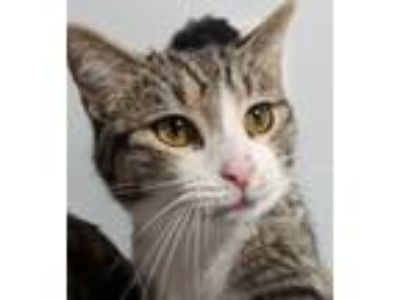 Adopt Rolo a Gray, Blue or Silver Tabby Domestic Shorthair / Mixed cat in