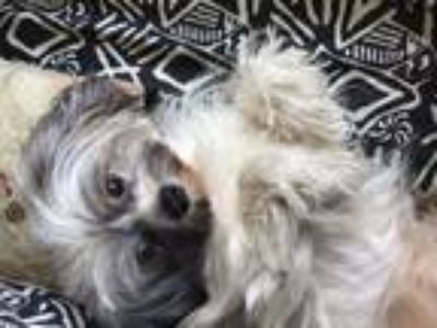 Adopt Macy a Yorkshire Terrier