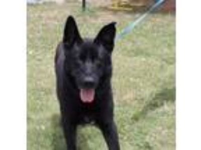 Adopt Boaz a Black German Shepherd Dog / Mixed dog in Brookfield, CT (25527295)