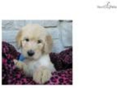 Wrigley-Gorgeous Goldendoodle Puppy
