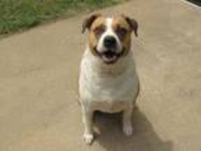 Adopt REDD a Australian Cattle Dog / Blue Heeler, Shepherd