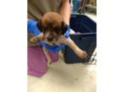 Adopt Cooper a Terrier (Unknown Type, Medium) / Cattle Dog / Mixed dog in