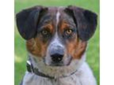 Adopt Smalls a Australian Cattle Dog / Blue Heeler, Border Collie