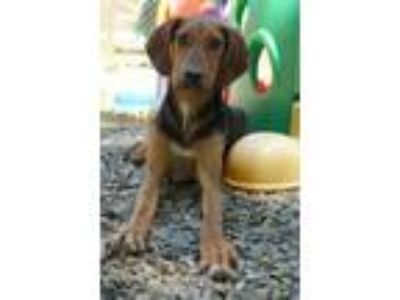 Adopt Elvis a Black and Tan Coonhound / Mixed dog in Rocky Mount, VA (25568517)