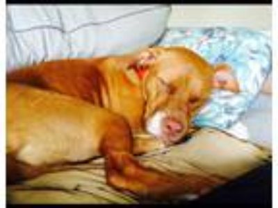 Adopt Ruby a Tan/Yellow/Fawn - with White American Pit Bull Terrier / Mixed dog
