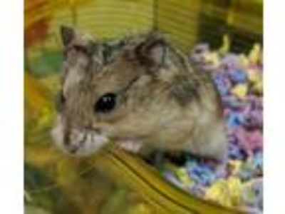 Adopt Phyllis a Hamster small animal in Oceanside, CA (25200017)