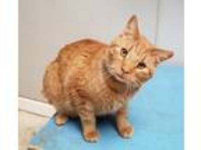 Adopt TWIST a Orange or Red Domestic Shorthair / Mixed (short coat) cat in