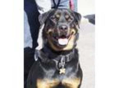 Adopt Blue a Black - with Tan, Yellow or Fawn Rottweiler / Mixed dog in Tracy