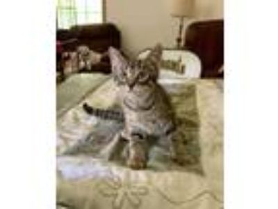 Adopt Brutus a Domestic Short Hair, Tabby