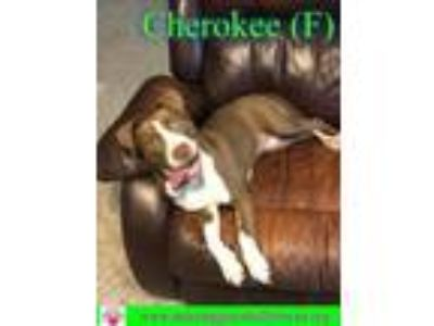 Adopt Cherokee a American Staffordshire Terrier