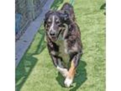 Adopt Syndey a Border Collie