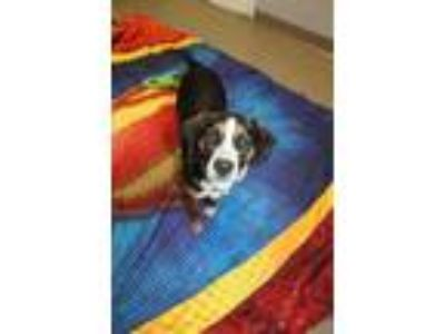 Adopt Cheech a Black Beagle / Mixed dog in Bloomingdale, IL (25306928)