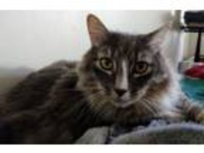 Adopt Snoopy a Maine Coon