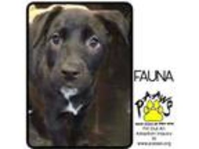 Adopt Fauna a Black Labrador Retriever / Mastiff / Mixed dog in Newburgh