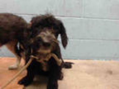 Adopt MATEO a Black - with White Schnauzer (Miniature) / Poodle (Toy or Tea Cup)