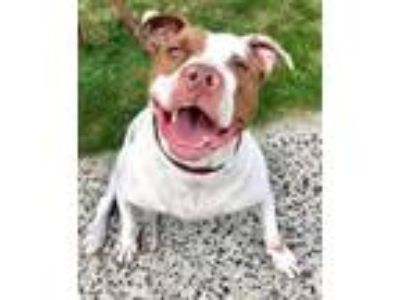 Adopt Cody CoCo a Pit Bull Terrier