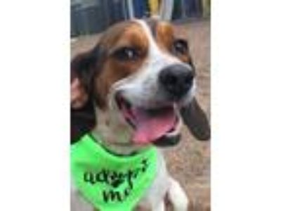 Adopt Abby a White - with Red, Golden, Orange or Chestnut Beagle / Hound