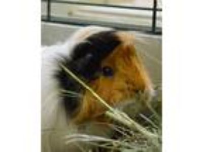 Adopt Maisy a Guinea Pig small animal in Novato, CA (25678880)