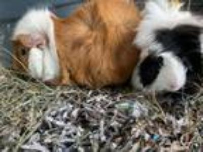 Adopt Cogsworth / Lumiere a Guinea Pig