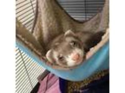 Adopt Wheezy the Weasel a Ferret