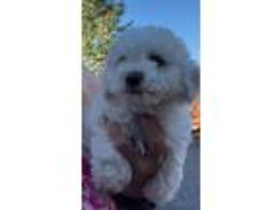 Adopt TWINKIE a White Poodle (Miniature) / Bichon Frise / Mixed dog in Carson