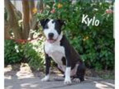 Adopt Kylo a Black - with White American Pit Bull Terrier / Mixed dog in red